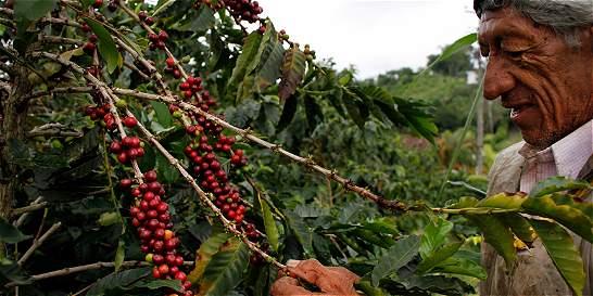 La cosecha de café y su precio, de lo dulce a lo amargo