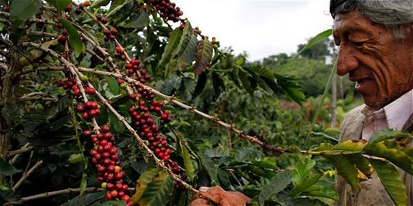Recolectores en Chinchiná reportaron que les pagaron entre 450 y 600 pesos por kilo en la cosecha.
