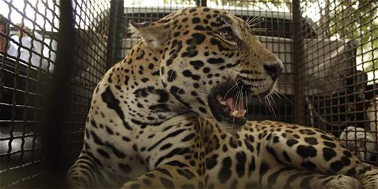 Tras cuatro meses de cautiverio, liberan a jaguar de Vijagual