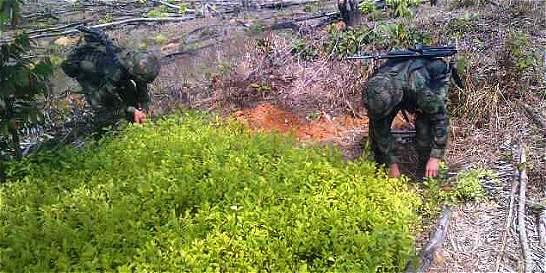 Ejército destruye plantación de coca en el Catatumbo