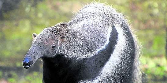 Ya van tres osos hormigueros  atacados en Santander este año