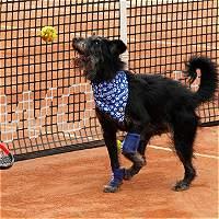 Perros abandonados, los nuevos recogebolas en el ATP de São Paulo