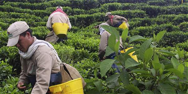 Infusiones de té, mercado que factura $ 85.000 millones en el país