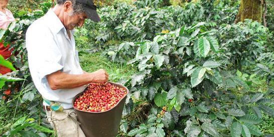 Cafeteros, a rezar por buenos precios hasta la gran cosecha