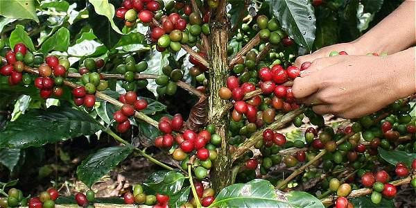 Los 'disidentes' comercializan el 70 por ciento del café que compra la Federación.