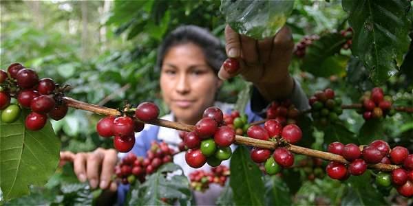 La producción cafetera colombiana del 2014 fue de 12,1 millones de sacos, mientras que el valor de la cosecha fue de $ 5,5 billones.