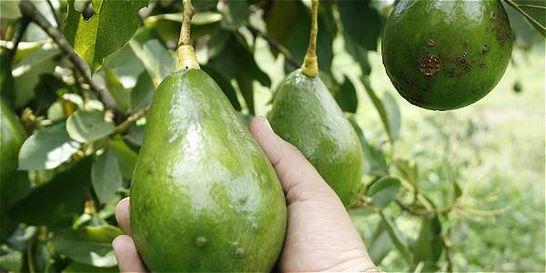 Colombia exporta primer cargamento de aguacate hass a Estados Unidos