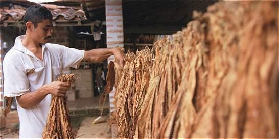 El contrabando y El Niño están matando al tabaco