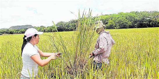 Productores de arroz urgen incentivo para no generar pérdidas