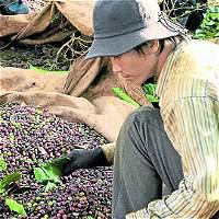 Subsidio para resiembra de café tendrá más recursos