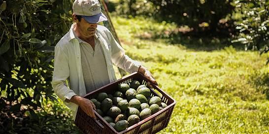 Crecen las exportaciones colombianas de aguacate 'hass'