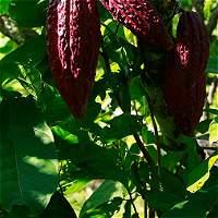 En Arauca, cultivan cacao fino de aroma y sabor