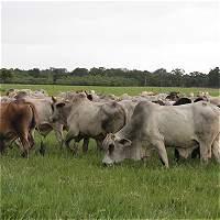 'Vienen años de vacas gordas para la ganadería colombiana'