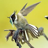 Los más bellos colibríes colombianos, reunidos en un libro