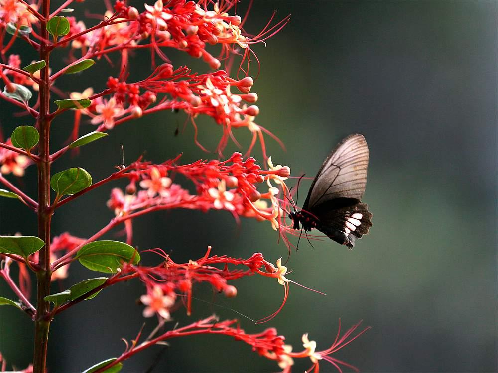 La reserva Paway, a escasos kilómetros de Villagarzón, tiene un mariposario en el que crían más 25 especies.