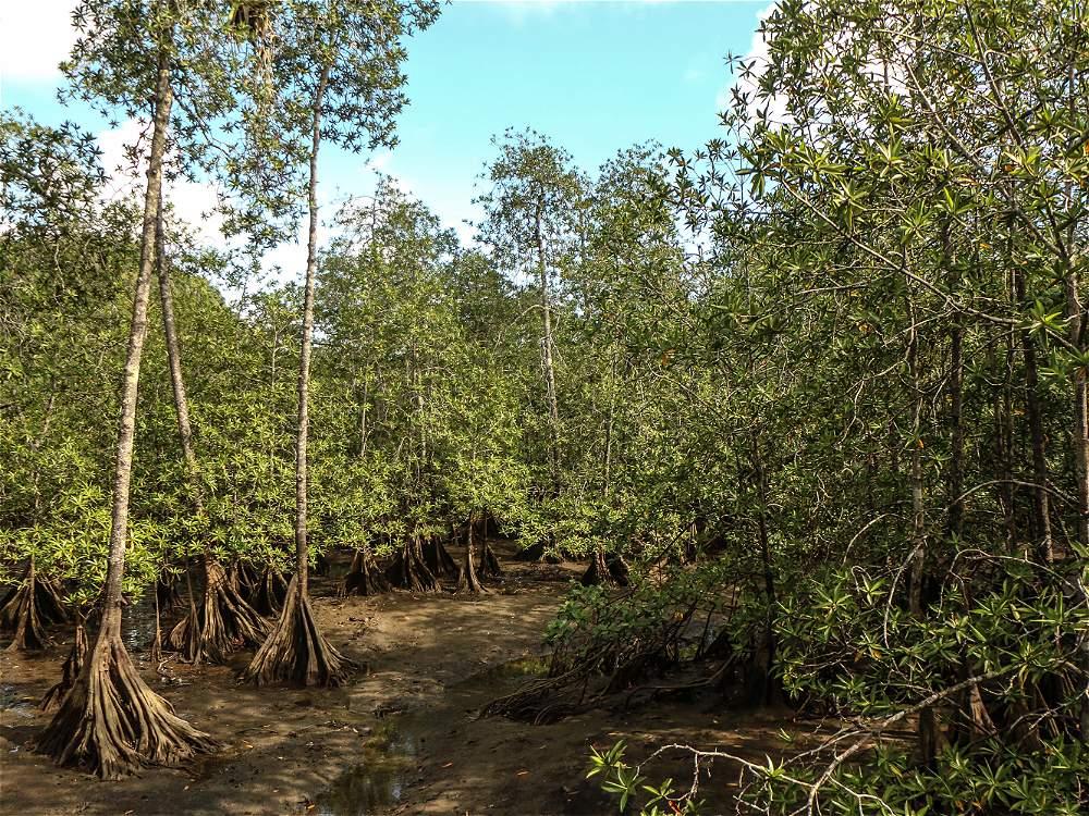 Cuando la marea está baja, el manglar Estero Grande deja ver las inmensas raíces de sus árboles.