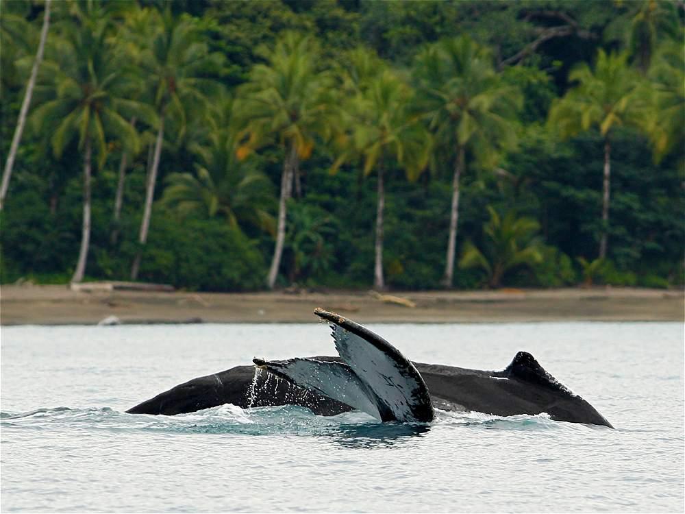 Las ballenas Yubarta atraviesan miles de kilómetros desde el Polo Sur para aparearse o parir sus crías en las aguas que bañan al Pacífico colombiano.