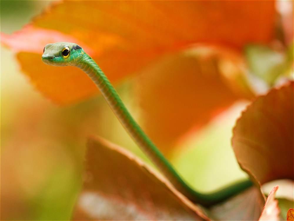 Esta delgada y verde serpiente hace parte de la inmensa biodiversidad de Nuquí.