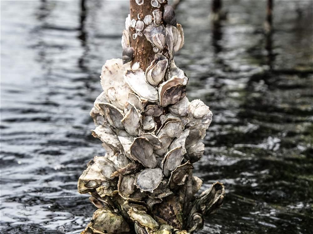 Estas ostras crecen adheridas a las raíces de los mangles colorados en la ensenada Rionegro, Necoclí (Antioquia).