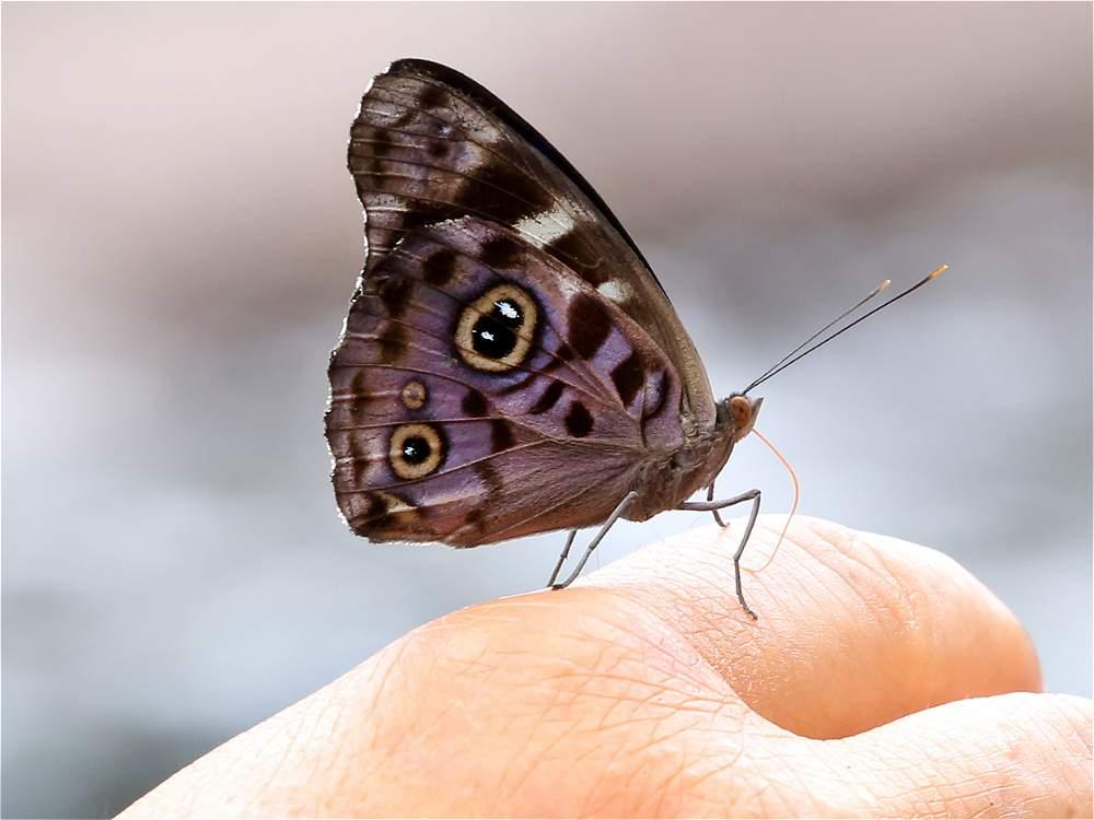 Las mariposas acompañan las caminatas de cuatro o cinco horas.