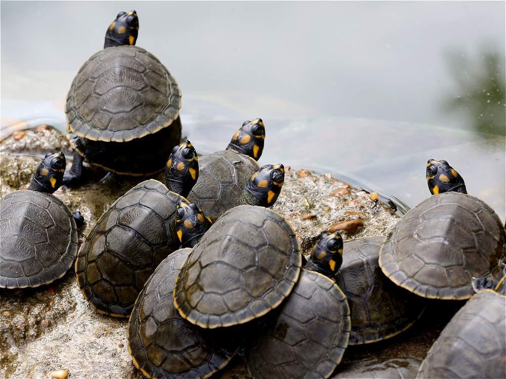 Una familia protege a las tortugas en el sector llamado Caño Cristalitos.