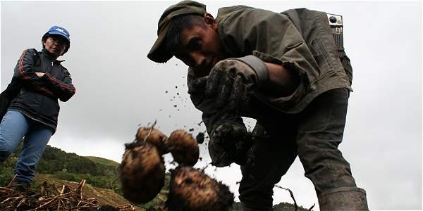Papas criollas colombianas para combatir el hambre
