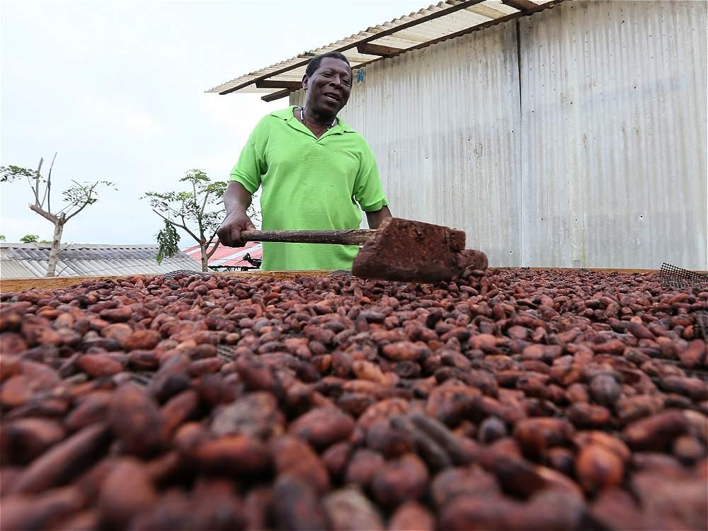 Para darle descanso al bosque,  la comunidad busca cultivar cacao.
