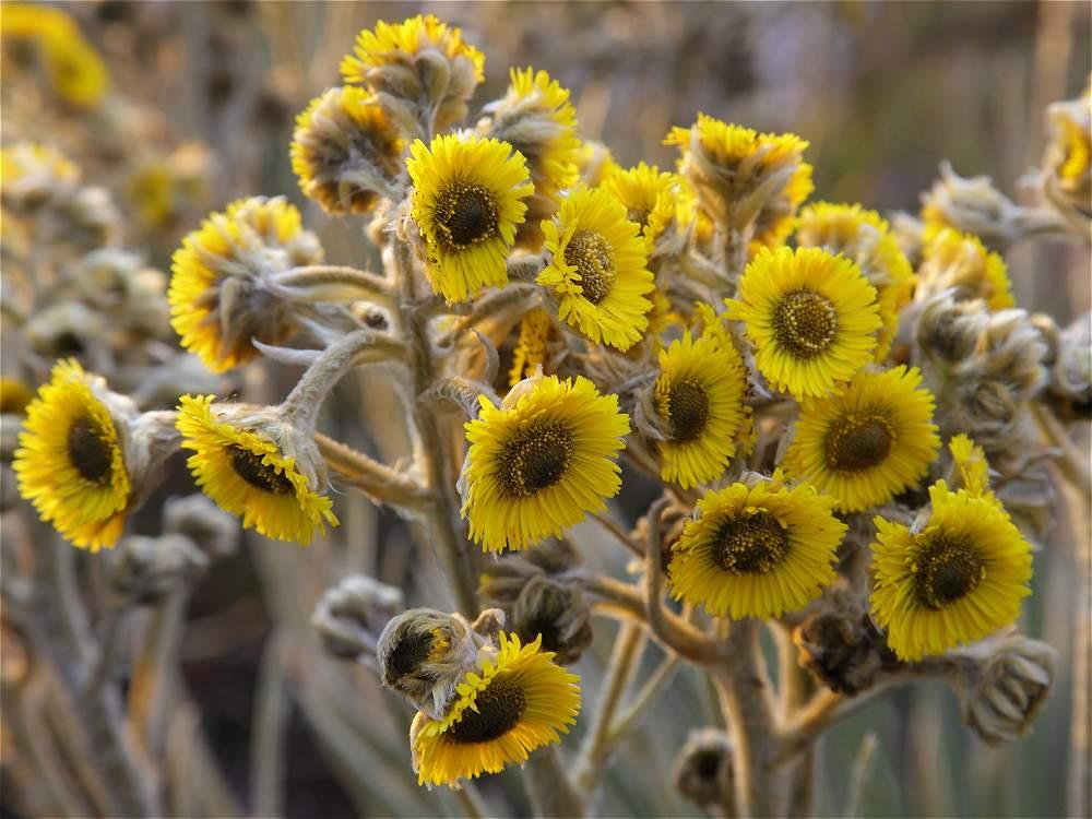 El ecosistema de páramo es adornado por coloridas flores como esta.