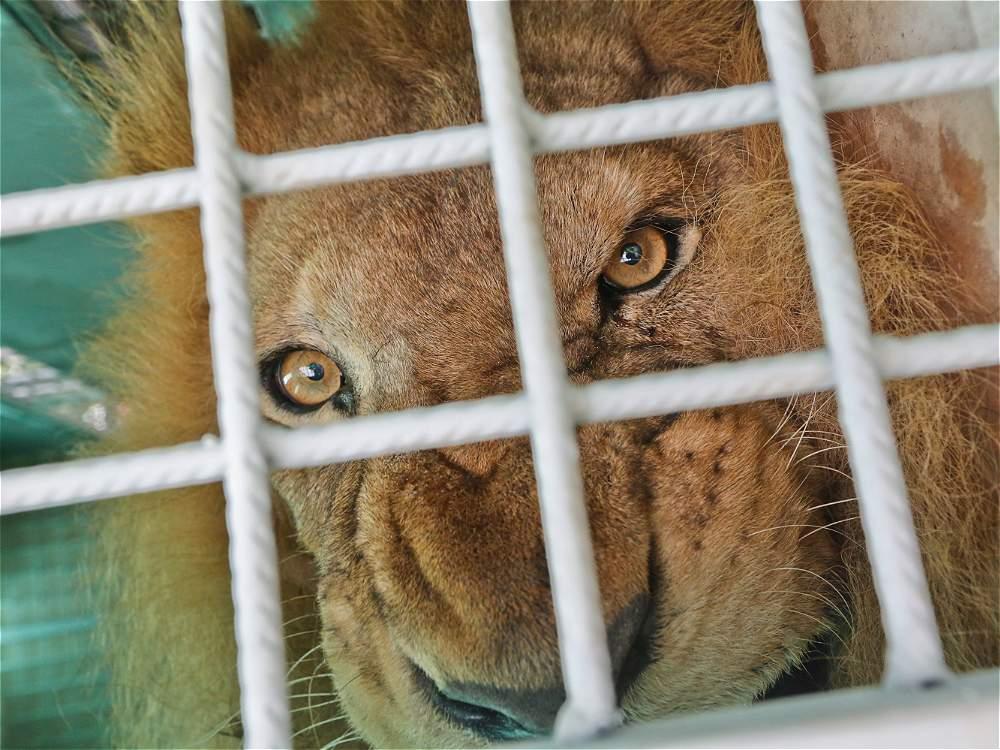 leones circo