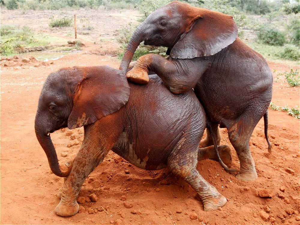 Fotos orfanato de elefantes beb s en kenia galer a de - Fotos de elefantes bebes ...