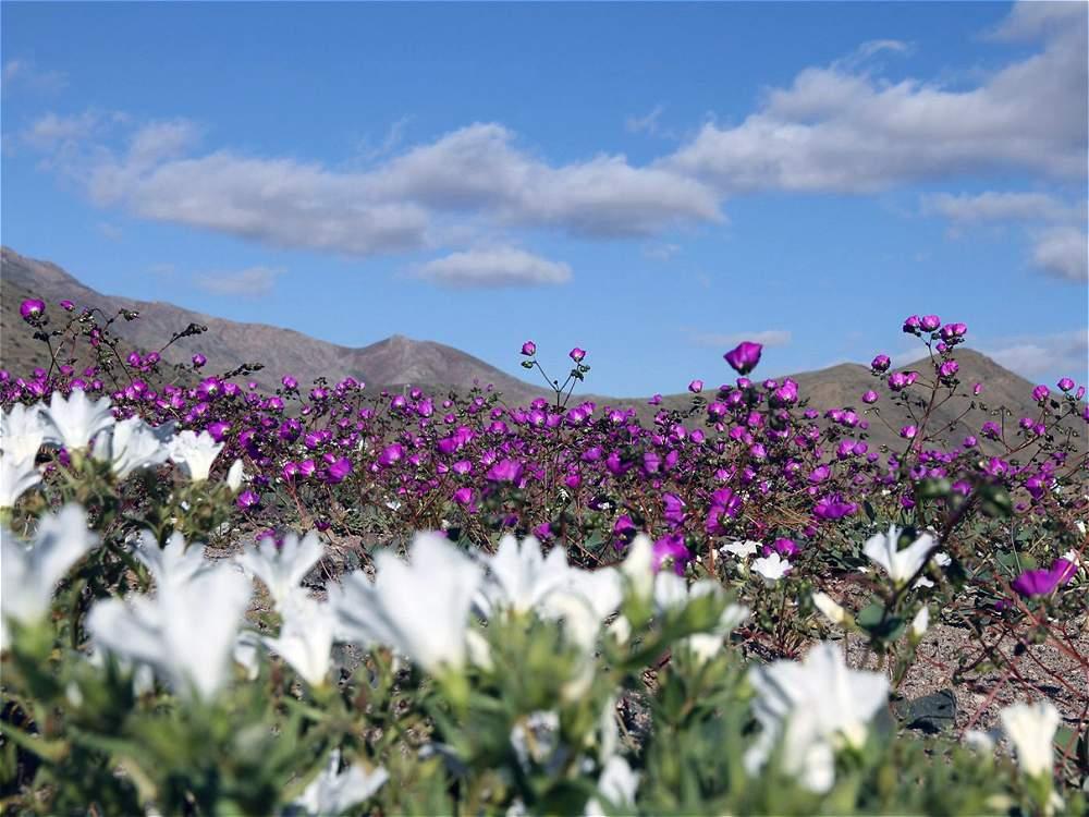 Desierto de Atacama se cubre de flores por el fenómeno del Niño