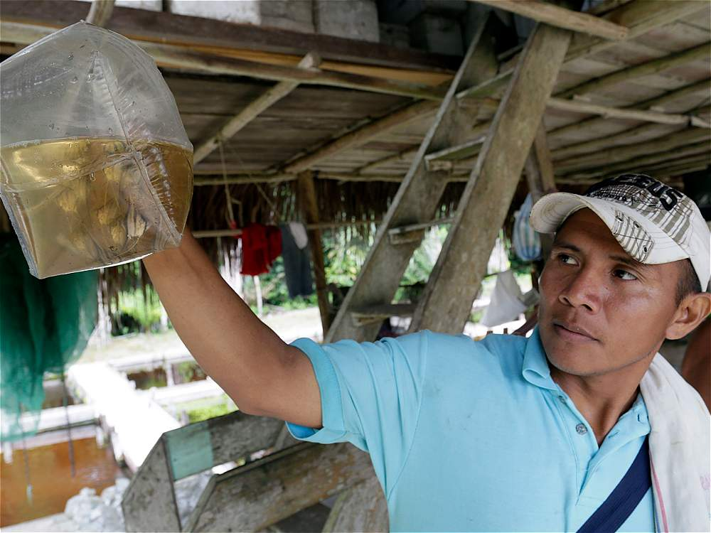 También, las comunidades se dedican al cultivo de peces ornamentales, que son enviados a Bogotá para su posterior exportación.
