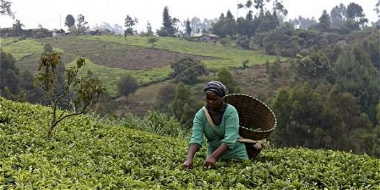 Pequeños agricultores de té en guerra contra el cambio climático