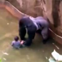 Matan a gorila en zoológico de EE. UU. para salvar a niño