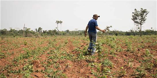 Cultivo de marihuana a cambio de carne, realidad campesina en Paraguay