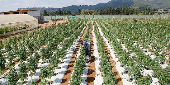 Mayor plantación legal de cannabis de América Latina crece en Chile