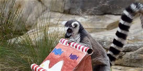 Animales de zoológico en Sídney disfrutan la llegada de la Navidad