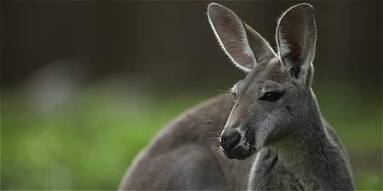 El puñetazo que un hombre le dio a un canguro en Australia