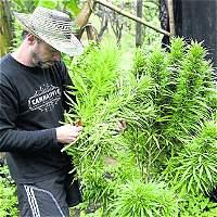 'Los uribistas terminaron convencidos de la marihuana medicinal'