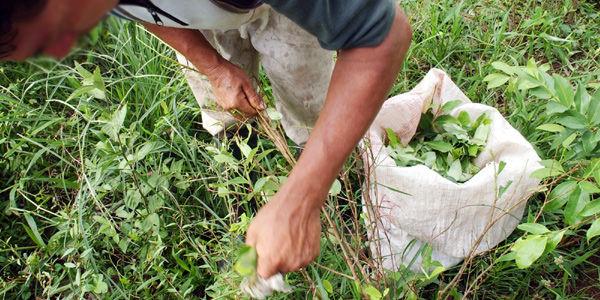 Resultado de imagen para pequeños cultivadores de coca