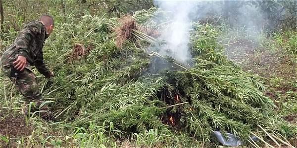 En las últimas 36 horas, tropas del batallón Pantano de Vargas hallaron cultivos de marihuana en Lejanías (Meta).