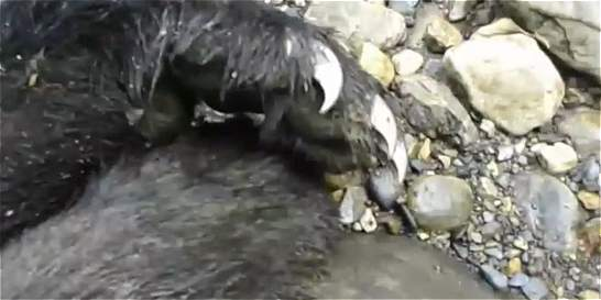 Tras las huellas del oso de anteojos que mataron en Cundinamarca