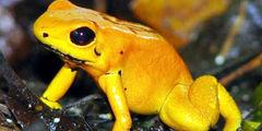 Millonario tráfico detrás de las mortales ranas doradas