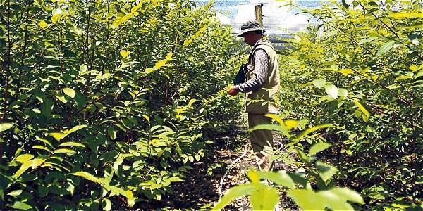 Disidencia sabotea programas de sustitución de cultivos en Guaviare