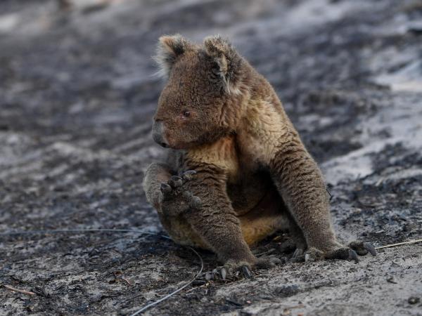 Animales afectados por los incendios de Australia
