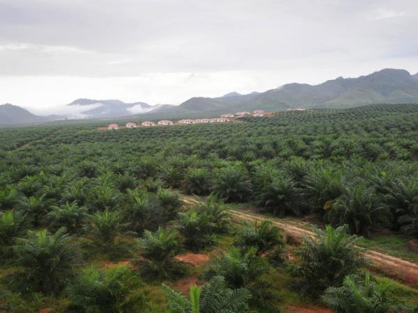 Cultivos de palma de aceite