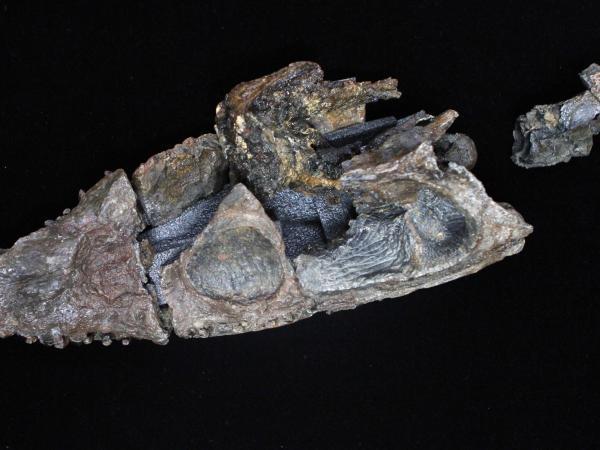 Callawayasaurus colombiensis