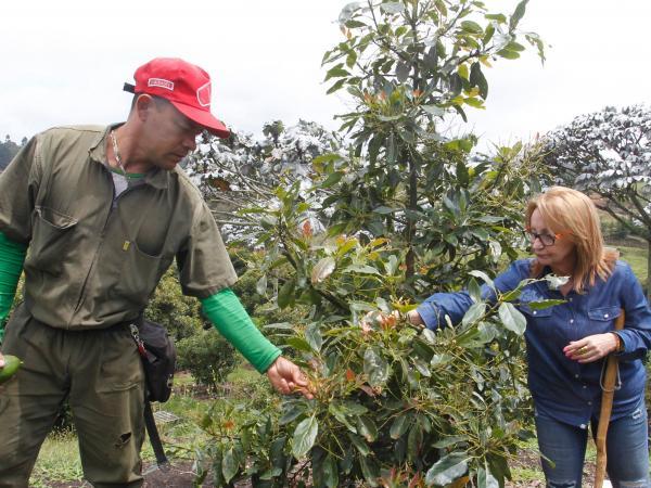 Cultivo de aguacates en Guarne