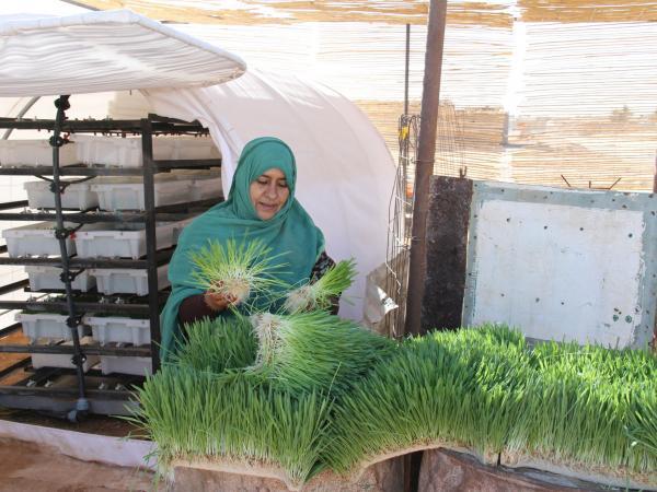 Sahara cultivos