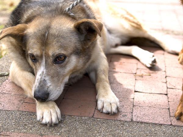 Viejito, uno de los perros para adopción disponibles en Distrito Appnimal